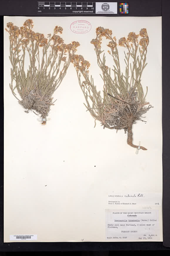 Physaria calcicola image