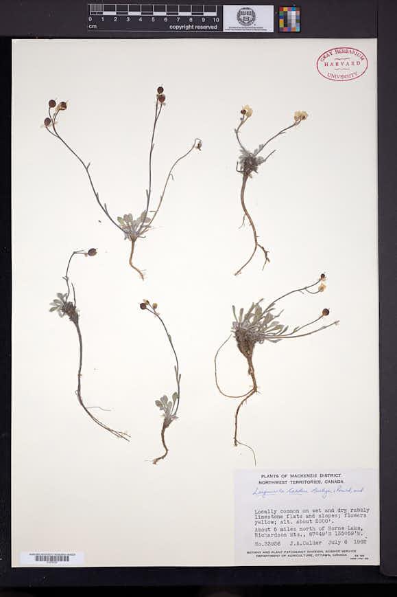 Image of Physaria calderi