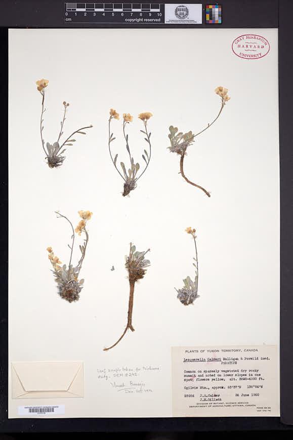 Physaria calderi image