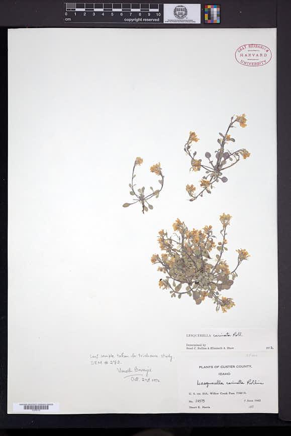 Physaria carinata image