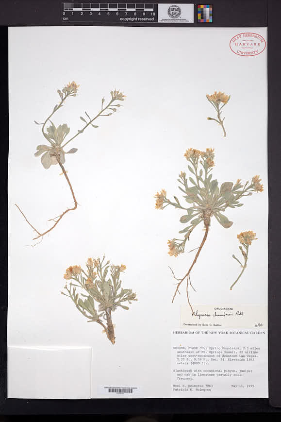 Physaria chambersii image