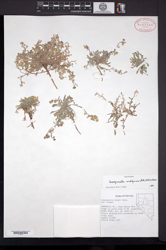 Physaria cordiformis image