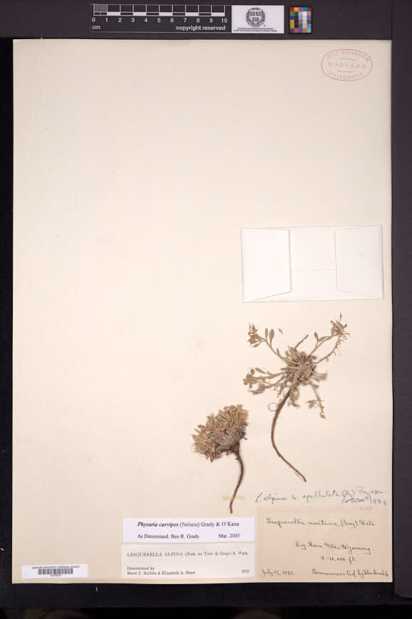 Image of Physaria curvipes