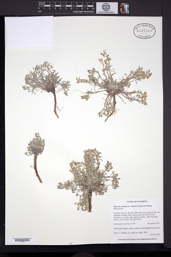 Physaria curvipes image