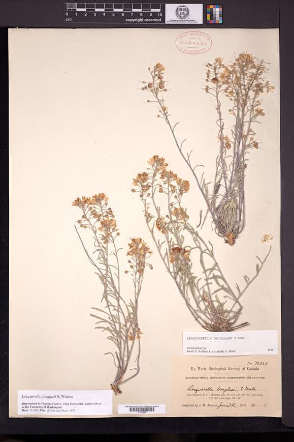 Physaria douglasii image