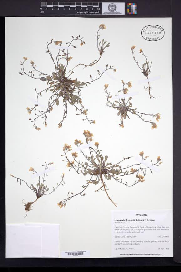 Image of Physaria fremontii