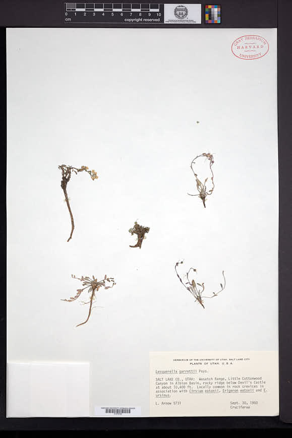 Physaria garrettii image