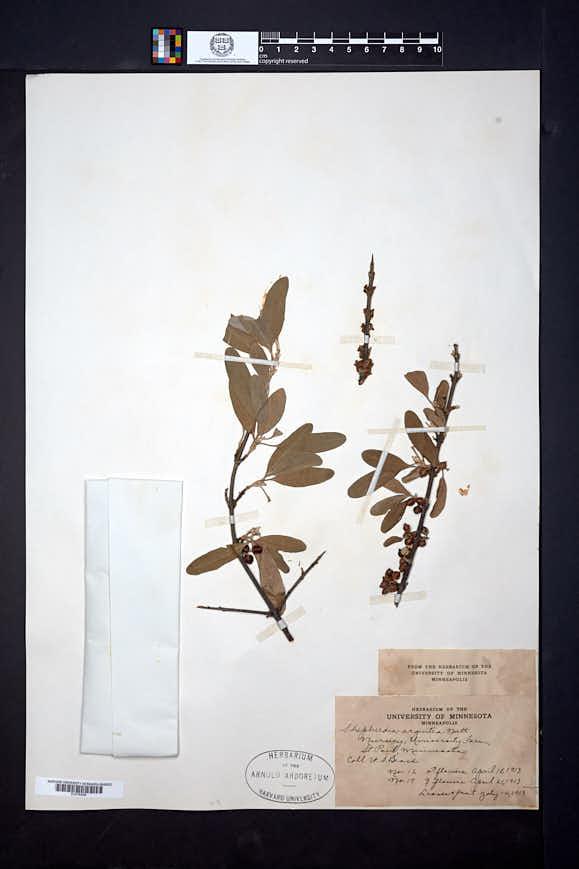 Shepherdia argentea image
