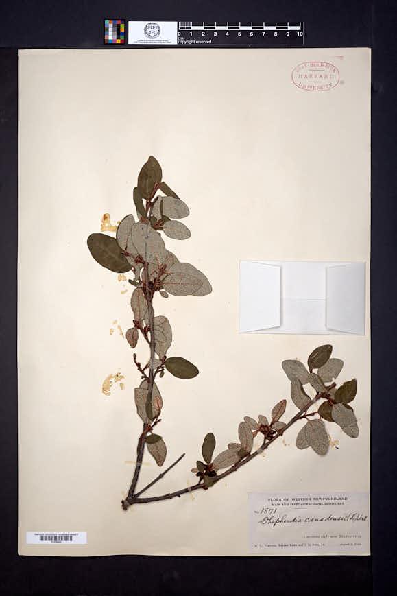 Shepherdia canadensis image