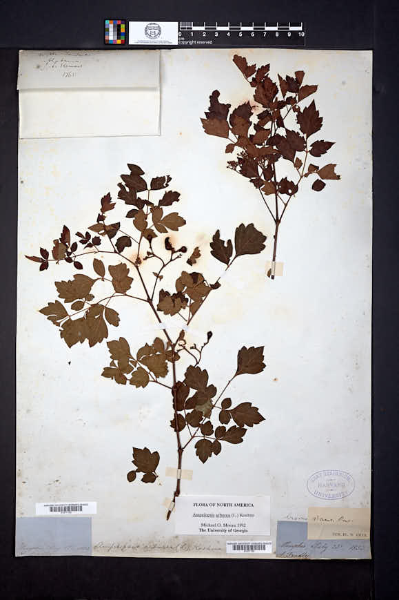 Nekemias arborea image