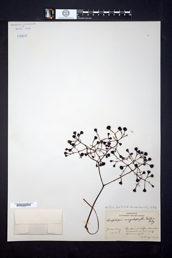 Image of Ampelopsis megalophylla