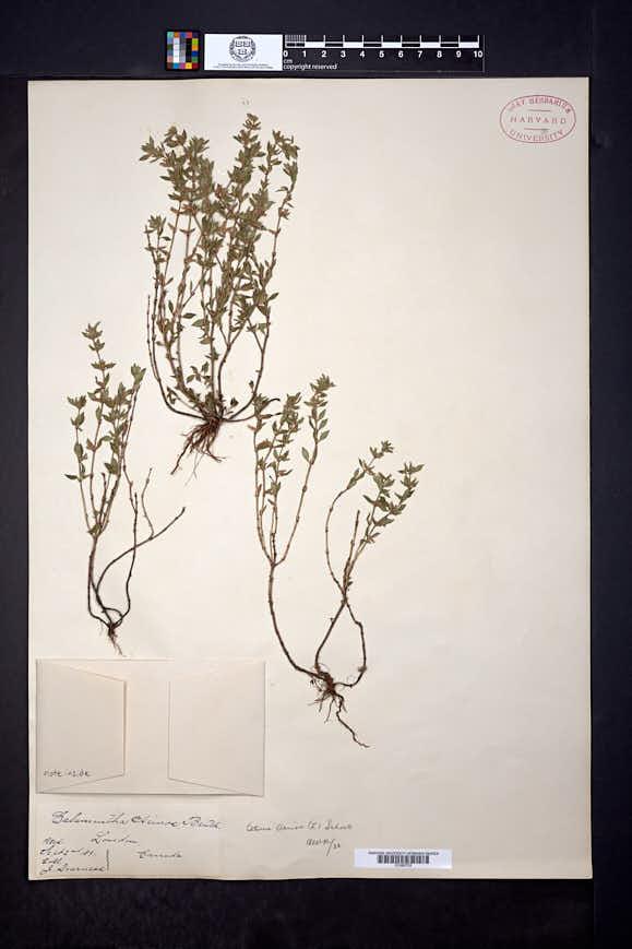 Acinos arvensis image