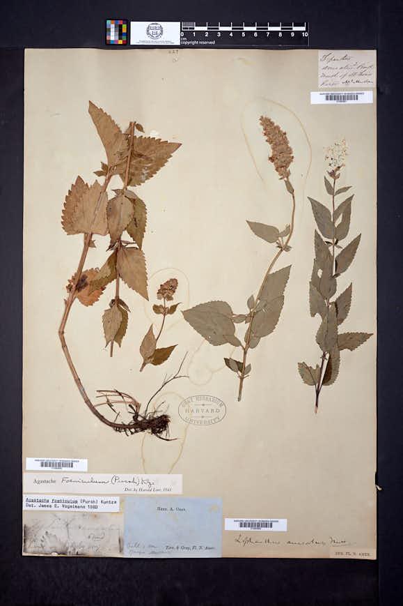 Agastache foeniculum image
