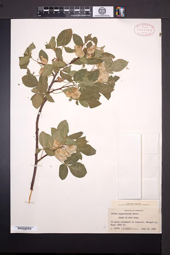Ptelea trifoliata subsp. angustifolia image
