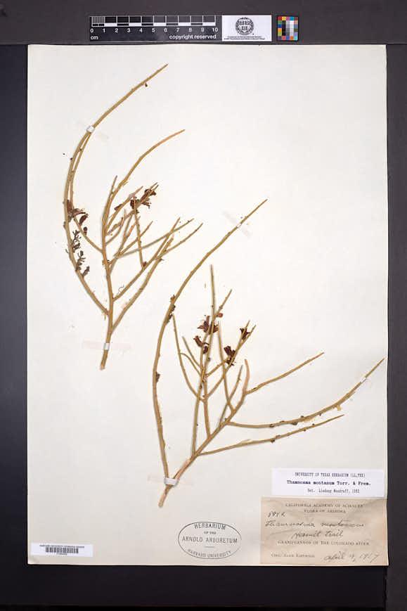 Thamnosma montana image