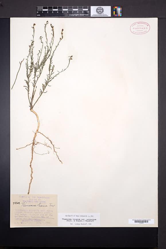 Thamnosma texanum var. purpureum image