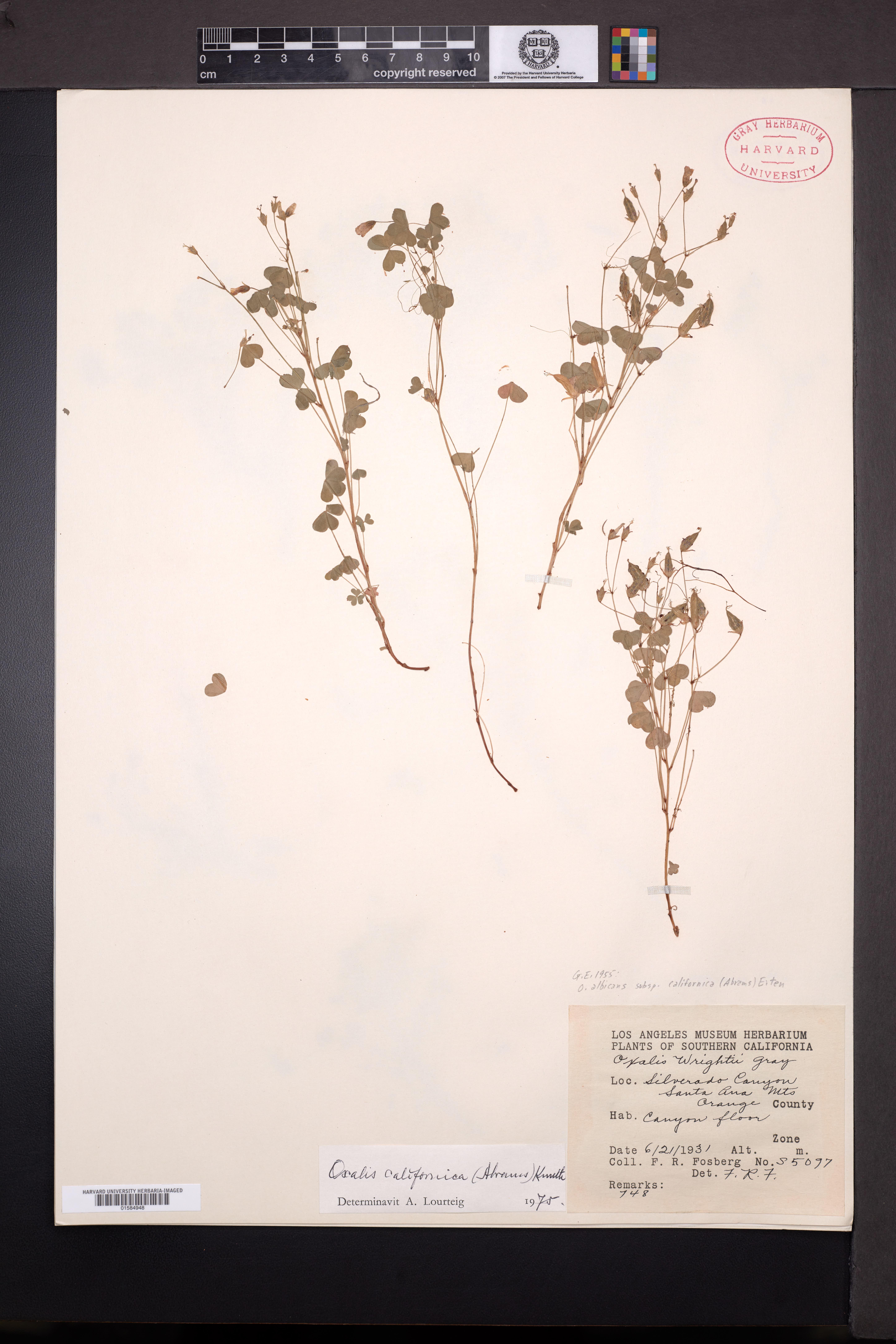 Oxalis albicans subsp. californica image