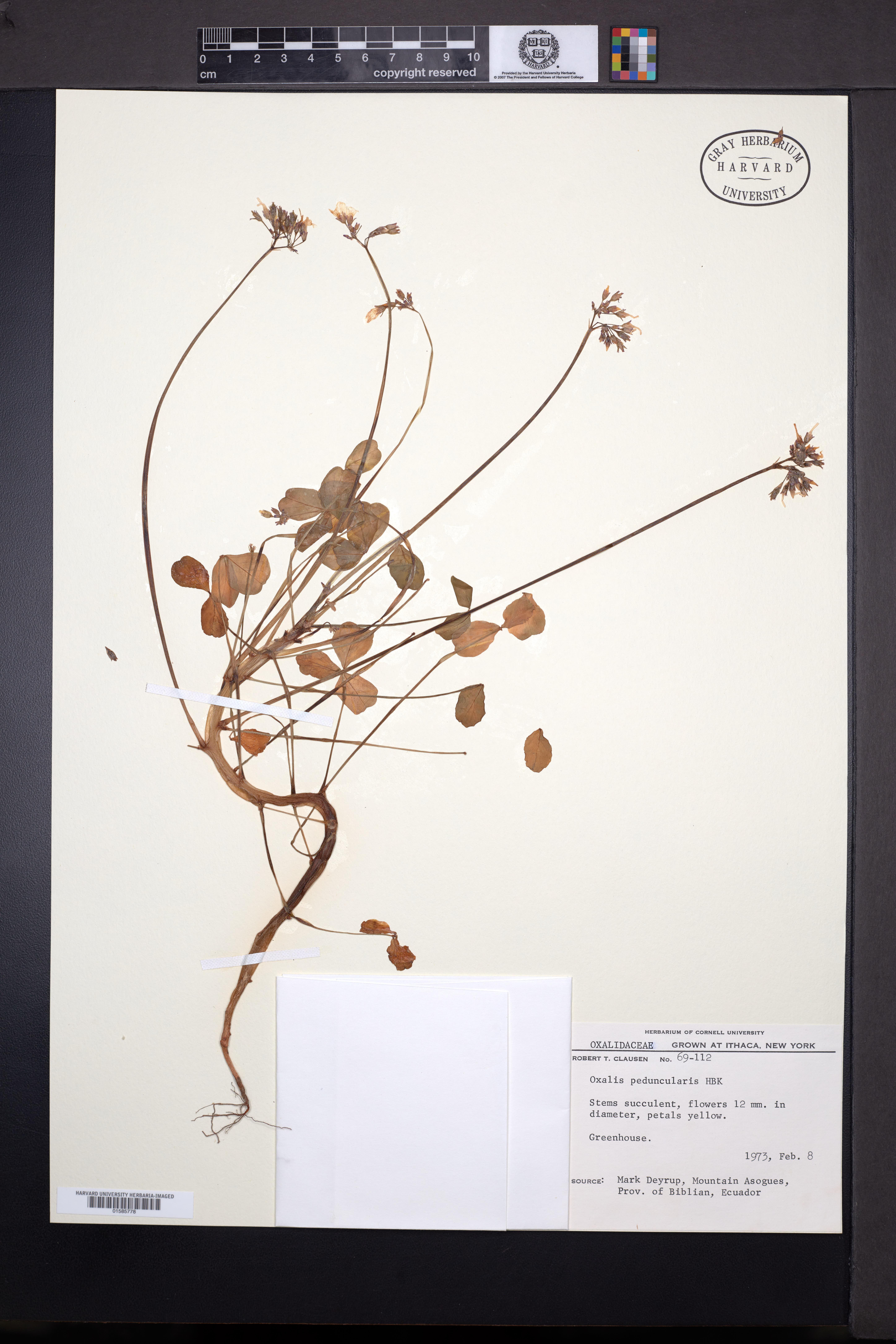 Image of Oxalis peduncularis
