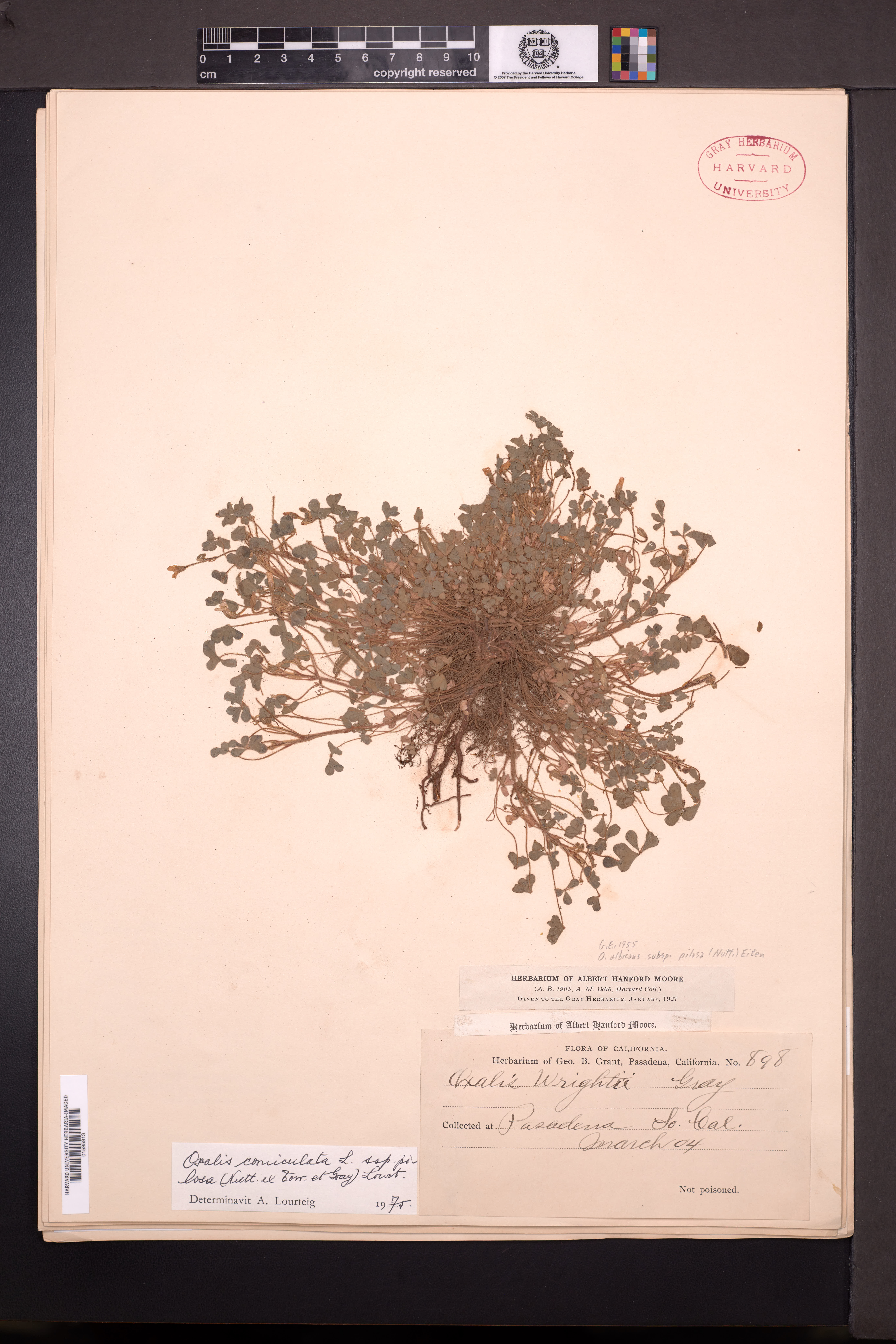 Oxalis albicans subsp. pilosa image