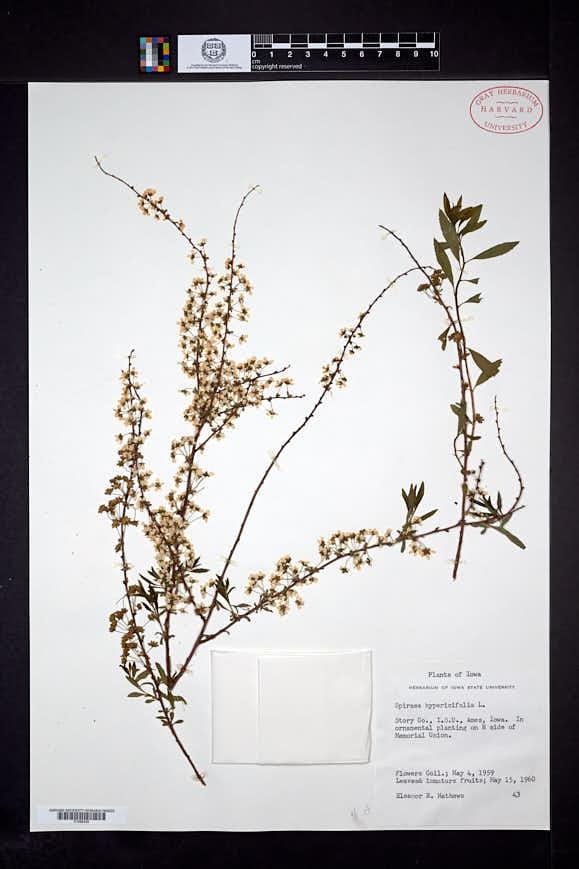 Spiraea hypericifolia image