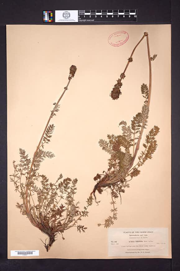 Acaena trifida image