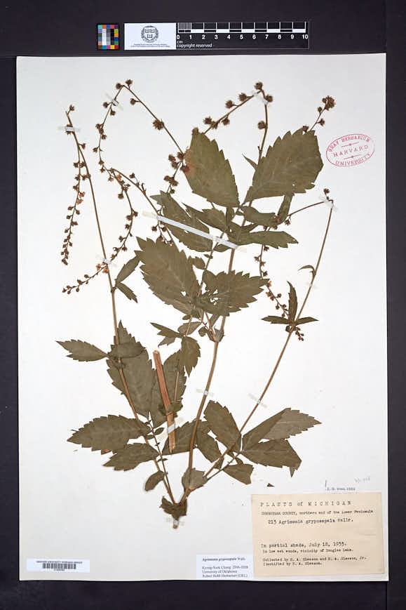 Agrimonia gryposepala image