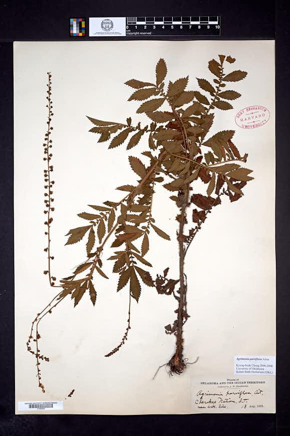 Agrimonia parviflora image