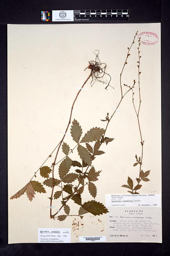 Agrimonia rostellata image