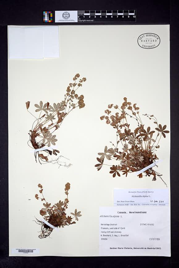 Alchemilla alpina image