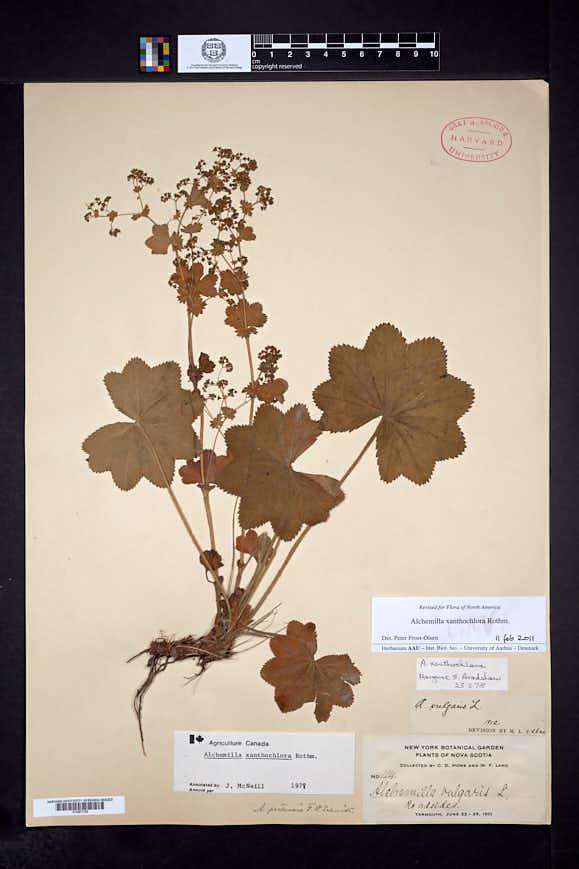 Alchemilla xanthochlora image