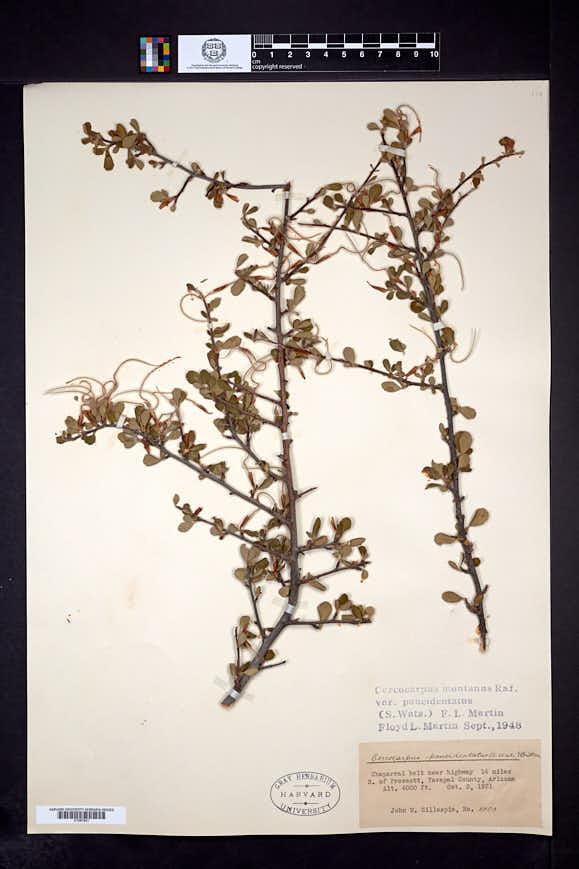 Cercocarpus montanus var. paucidentatus image