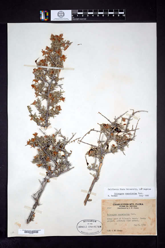 Coleogyne ramosissima image