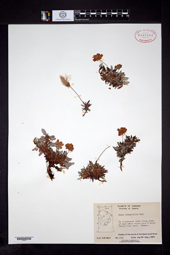 Dryas integrifolia image