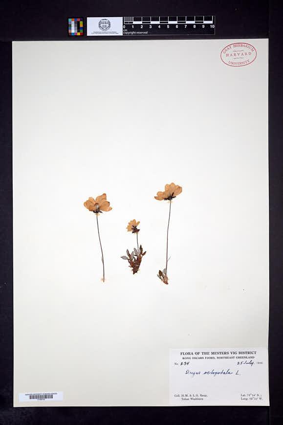 Dryas octopetala image