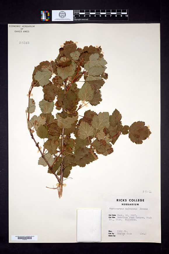 Physocarpus malvaceus image