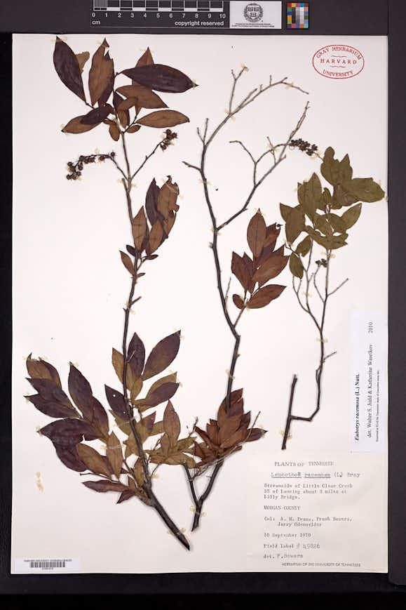 Eubotrys racemosa image