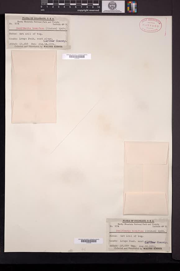 Gaultheria humifusa image