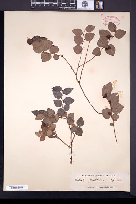 Gaultheria ovatifolia image