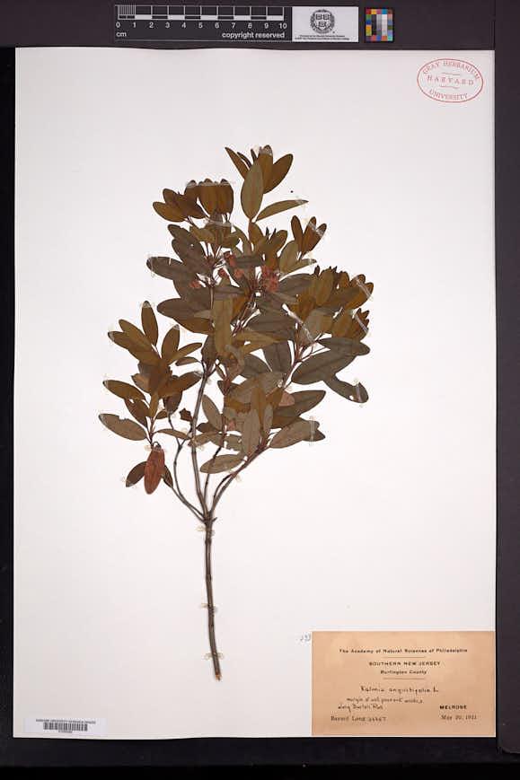 Kalmia angustifolia image