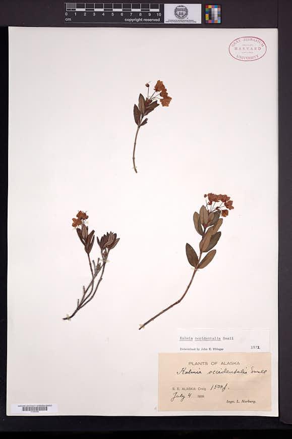 Kalmia microphylla subsp. occidentalis image