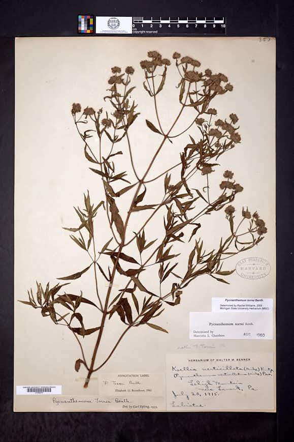Pycnanthemum torrei image