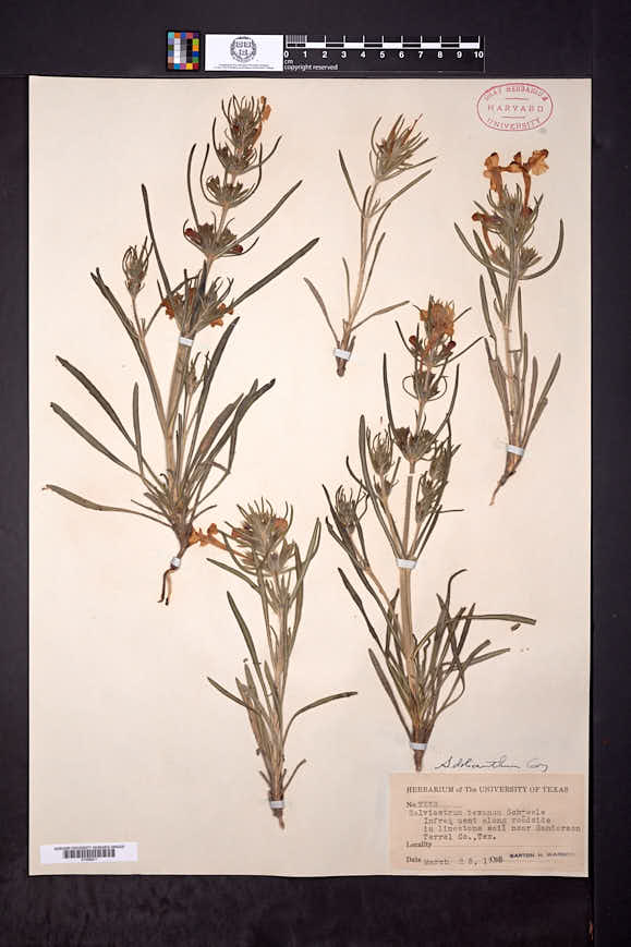 Image of Salvia dolichantha