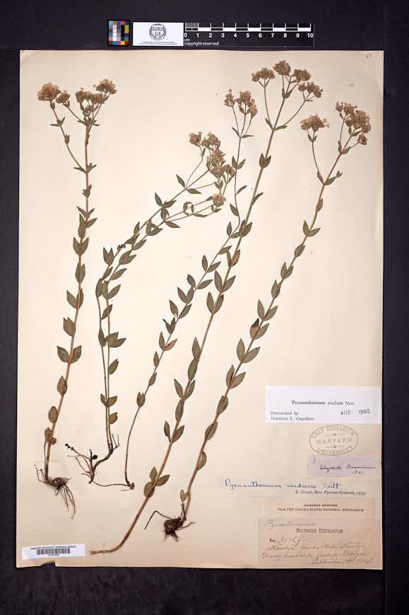 Pycnanthemum nudum image