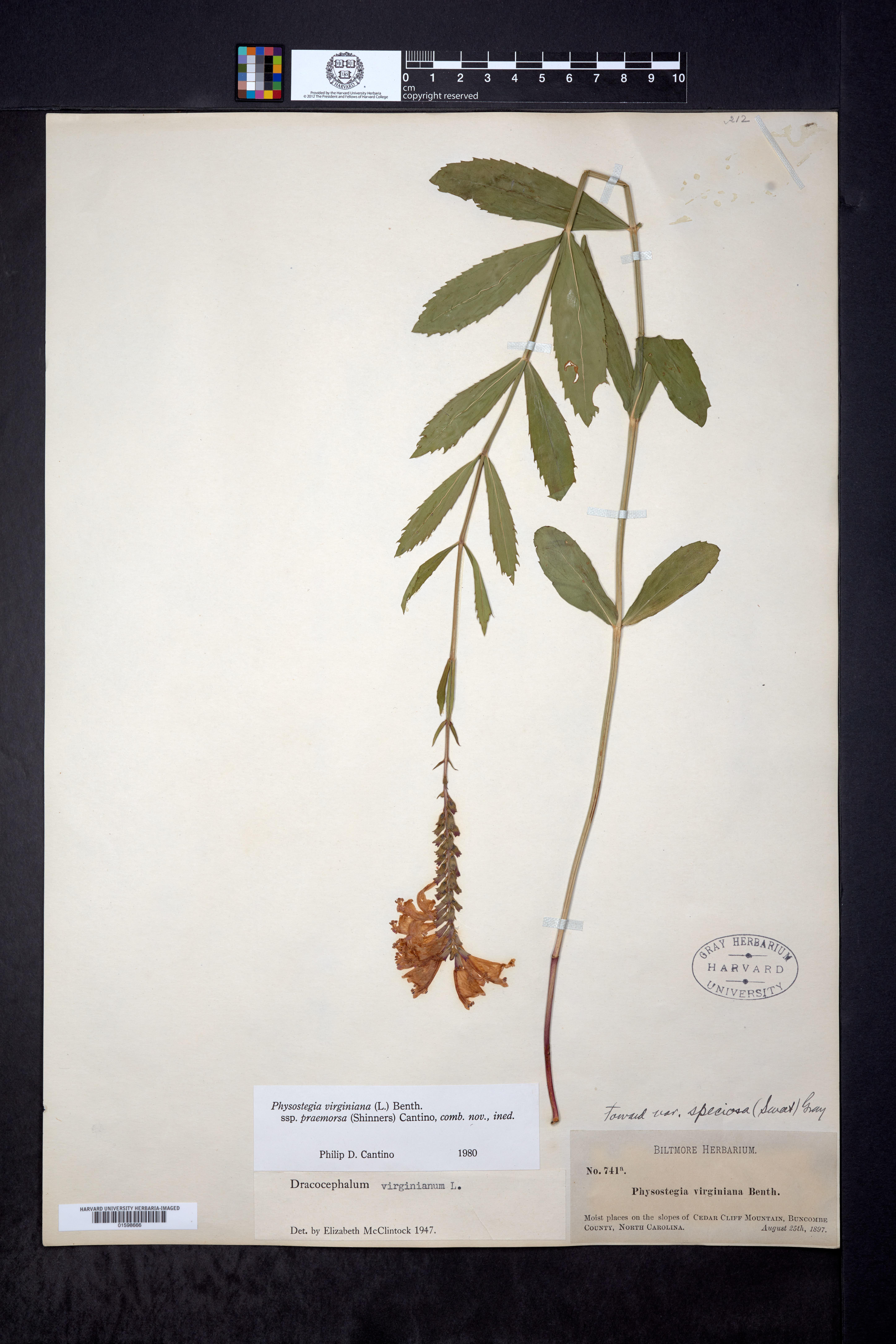 Physostegia virginiana subsp. praemorsa image