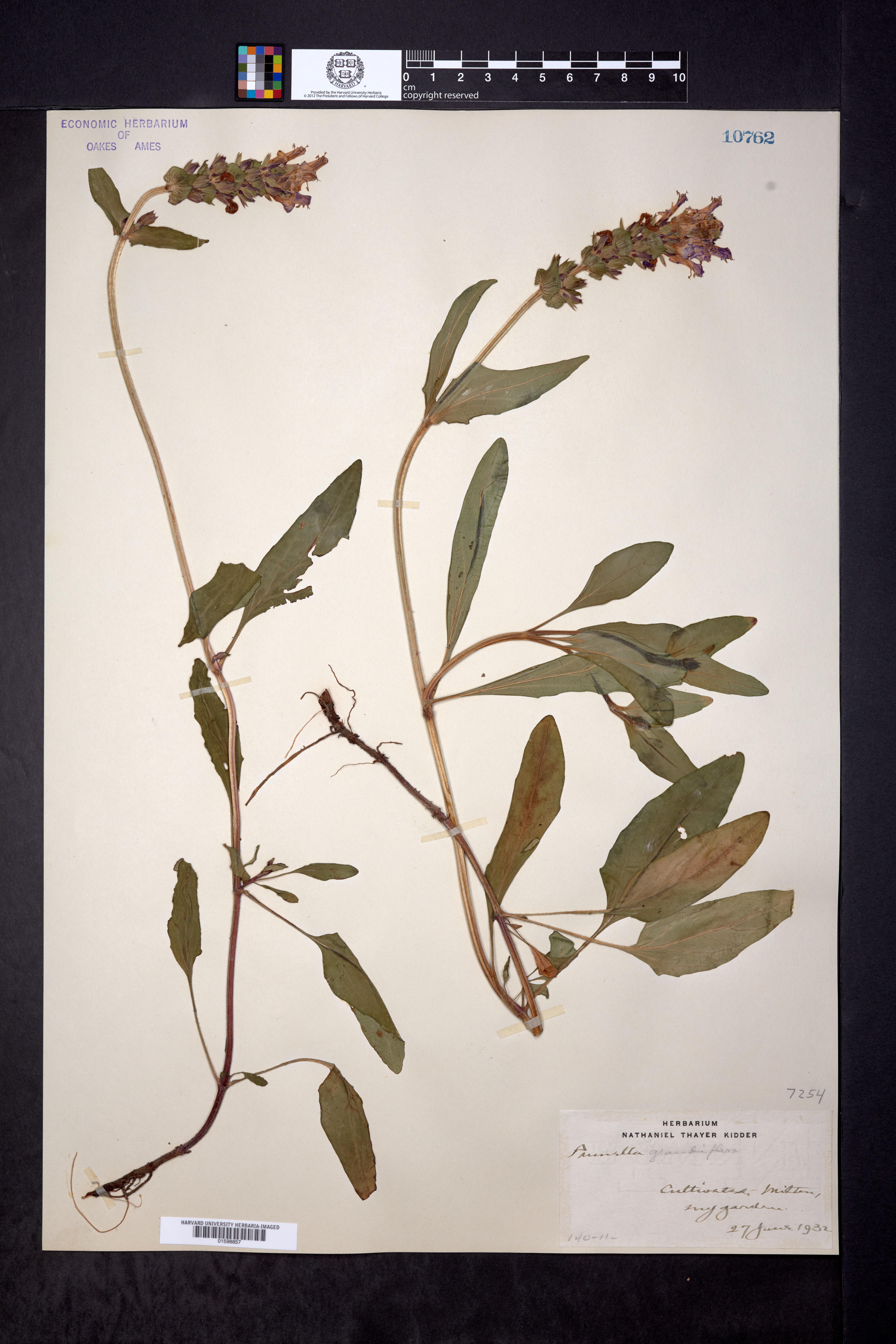 Image of Prunella grandiflora