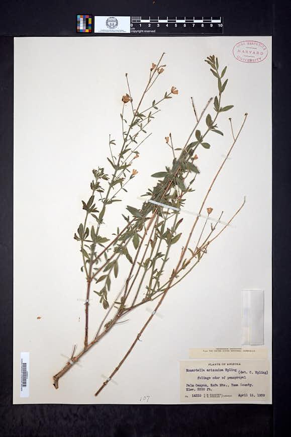 Monardella arizonica image