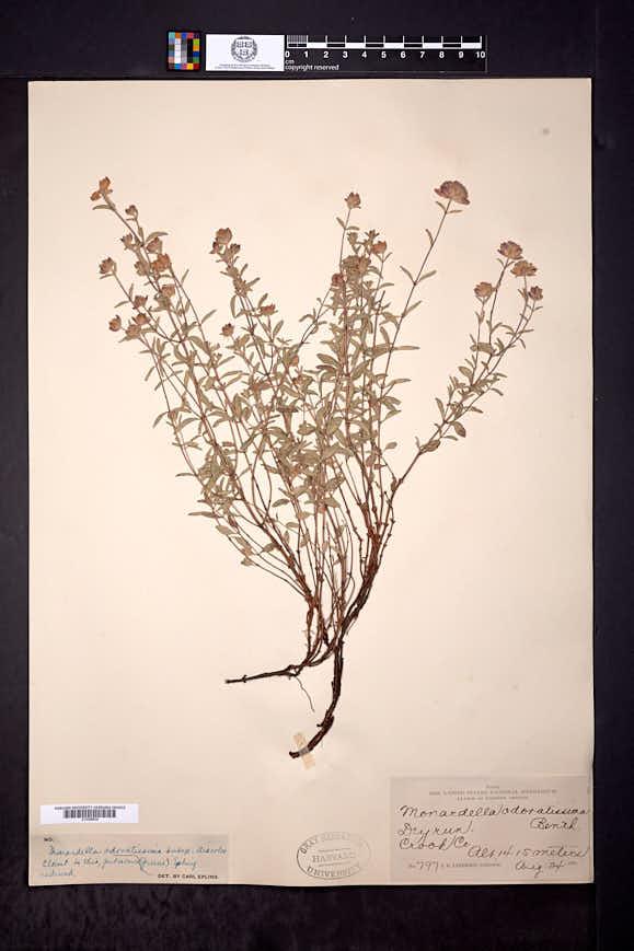 Monardella odoratissima subsp. discolor image