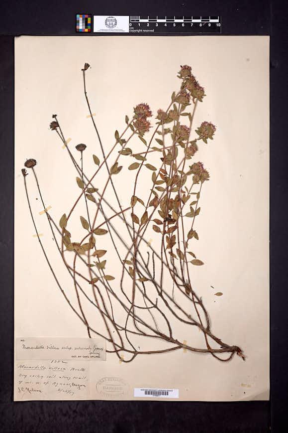 Monardella villosa subsp. subserrata image