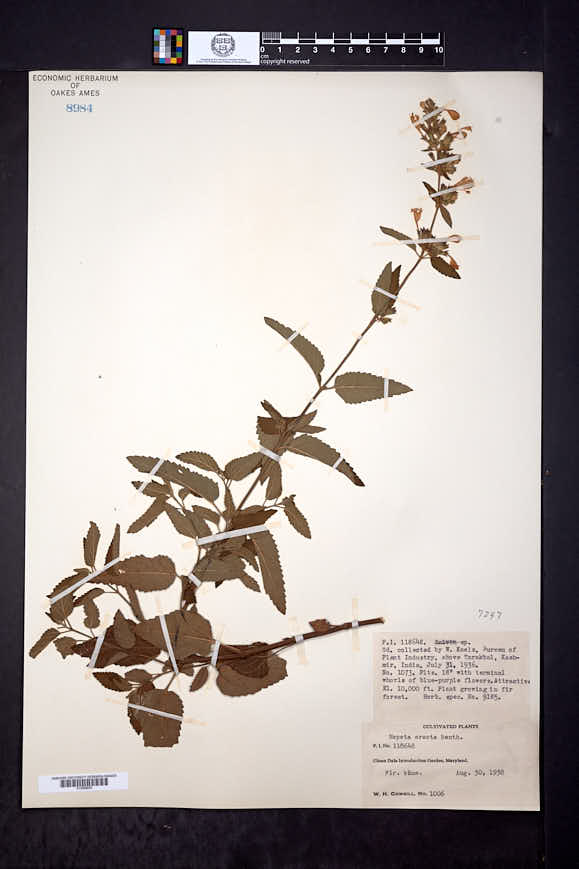 Image of Nepeta erecta