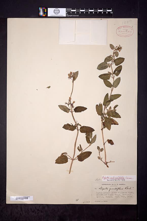Image of Nepeta melissifolia